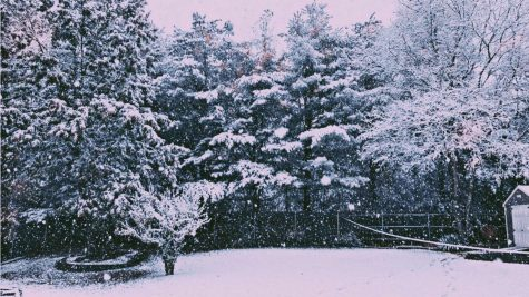 Snow falls on pine trees
